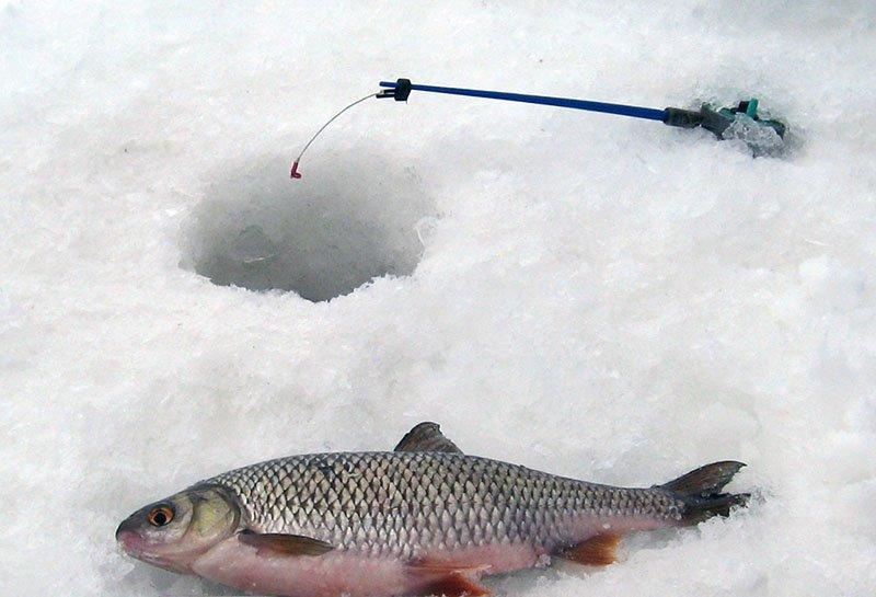 Особенности и практичные советы по тактике ловли язя зимой
