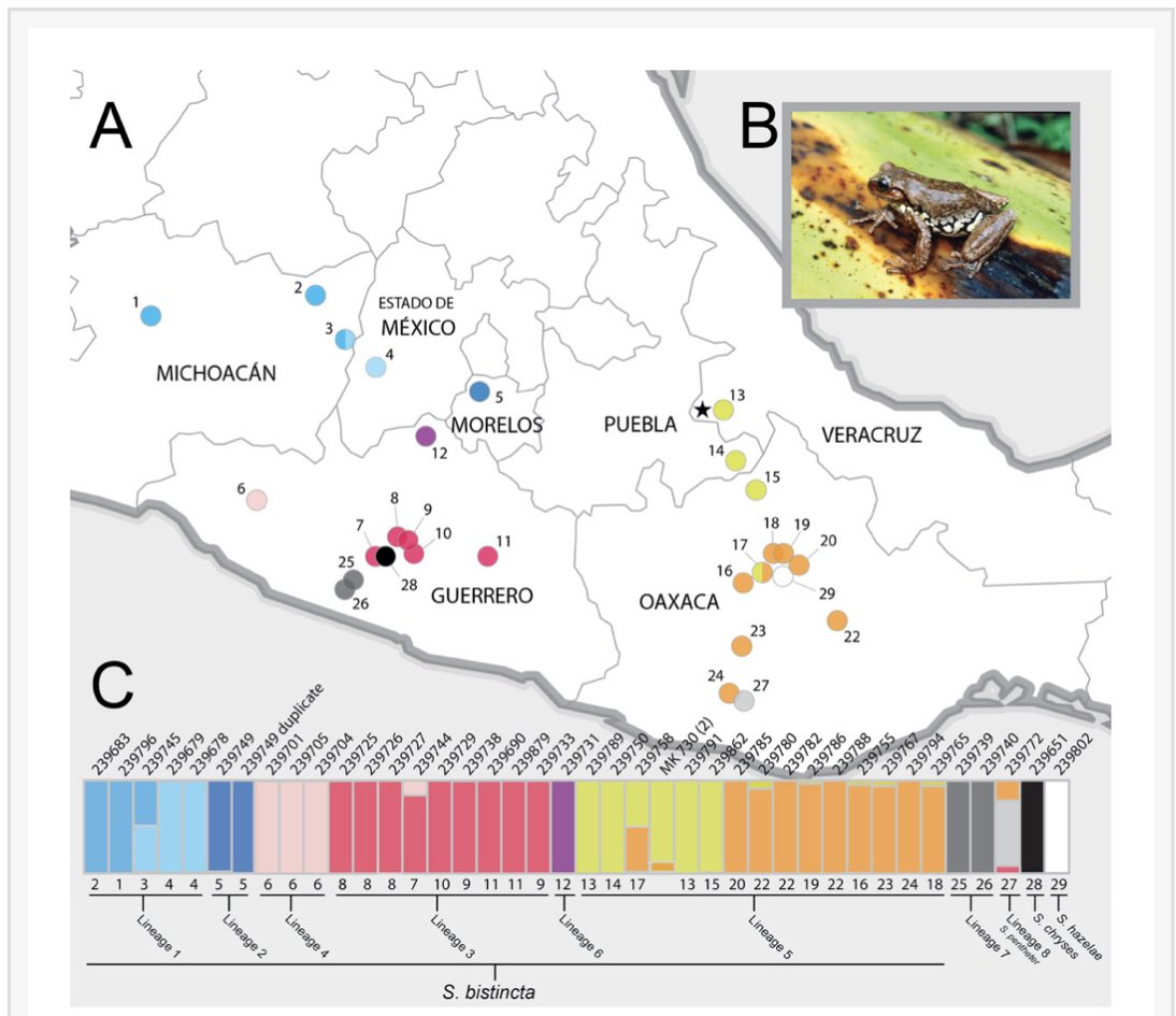 There is crazy undescribed frog diversity in the Mexican Highlands — our latest, on the Sarcohyla bistincta complex, in @thePeerJ with @EugeniaZarza @Pardirallus @wh1tney_t & others peerj.com/articles/6045