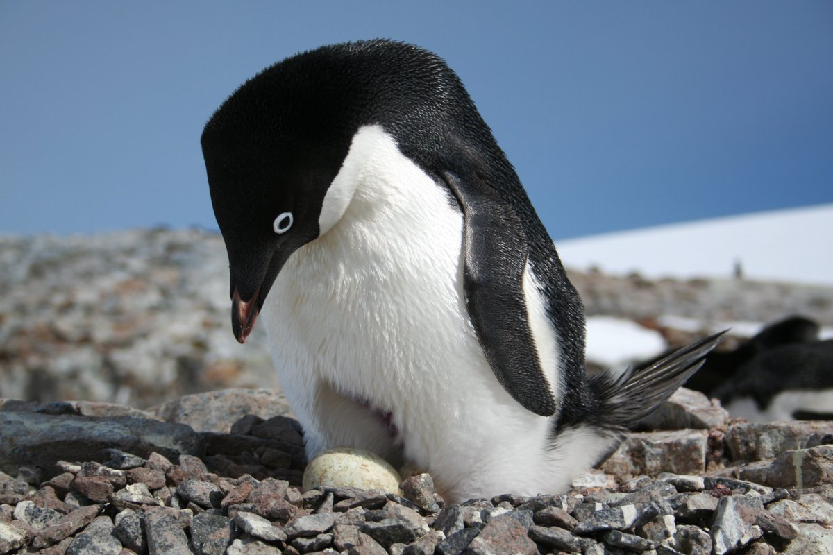 Close-up image of Adélie image standing over penguin egg on rocky surface