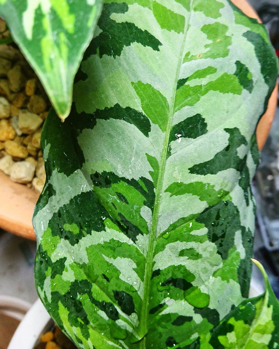 高級観葉植物・アグラオネマピクタムアンダマン普及協会's photo on #マツコの知らない世界