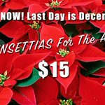 Image for the Tweet beginning: Poinsettias for Christmas!! Please turn