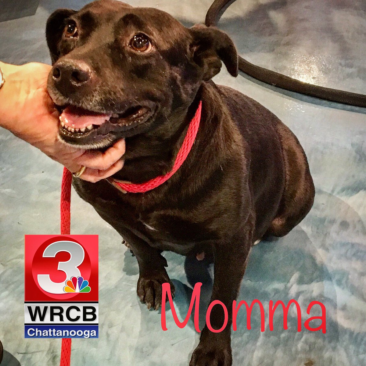 Sweet Momma was a little nervous at first, but warmed right up by the end of her #PaulsPet segment and was ready to be our mascot! This 5-y.o. lab mix is a perfect lap companion. Find her at HES, 212 N. Highland Pk. Ave. in #CHA or get adoption info at: heschatt.org
