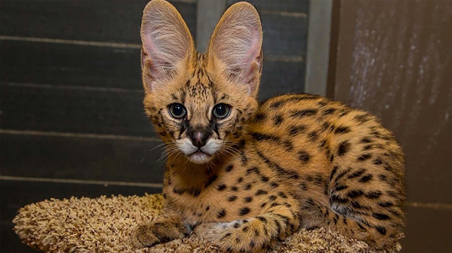 четвертым грудным коты редких пород фото ревматизма мальчик