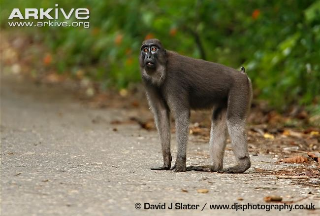 6. the booted macaque  the Slenderman of primates   http://www. arkive.org/booted-macaque /macaca-ochreata/ &nbsp; … <br>http://pic.twitter.com/P7WJrl3bz9