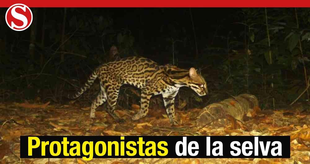 En @SosSemana | El puma concolor, el segundo gatuno más grande de América después del jaguar, fue uno de los animales captados por las cámaras trampa en Cimitarra y Tierralta. Este avistamiento refleja las buenas condiciones de conservación del ecosistema  https://t.co/vS4GRhovSs