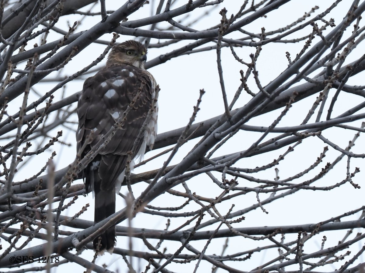 This morning&#39;s Sharp-shinned Hawk or fondly known as a &quot;Sharpie.&quot; A juvenile in the garden. <br>http://pic.twitter.com/bCBCE05Ql4