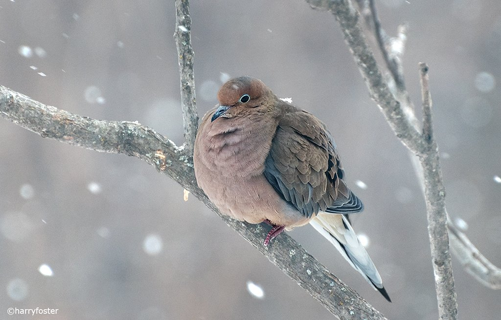 I could not resist posting this Dove sitting waiting its turn on a very cold day. Normally sleek and streamlined, in these conditions they puff up like a ball to stay warm. How could it even take off? #Dove #birding #birdsoftwitter<br>http://pic.twitter.com/LWjoLJTbUb