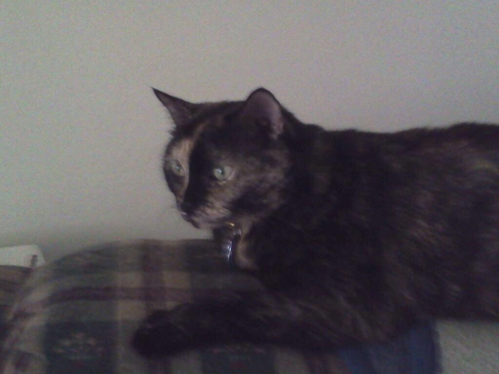 Tonight I said goodbye to my sweet cat Cinni @CinniMini2. She became very ill this evening and had lab work that was indicative of FIP and/or cancer. RIP my beautiful girl. Until we meet again.  <br>http://pic.twitter.com/w7XAzAan2T