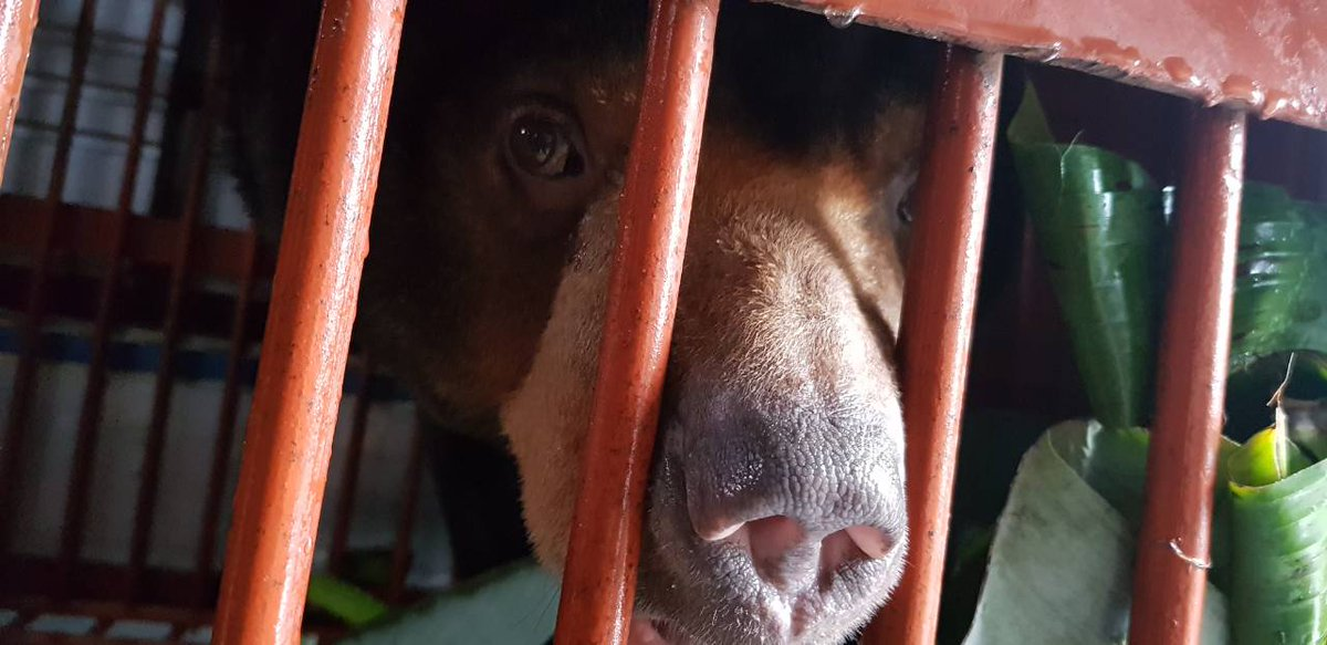 DAY 4 - #WishUponAStar Rescue: See anything familiar? Aurora&#39;s nose looks much like a dog&#39;s. But a bear&#39;s sense of smell is 7X greater than a bloodhound&#39;s and several thousand times greater than a human&#39;s!  FOLLOW:  http:// bit.ly/WishRescueTime line &nbsp; …  SEND HELP:  http:// animalsasia.org/WishUponAStar  &nbsp;  <br>http://pic.twitter.com/hWQSX1JK2g