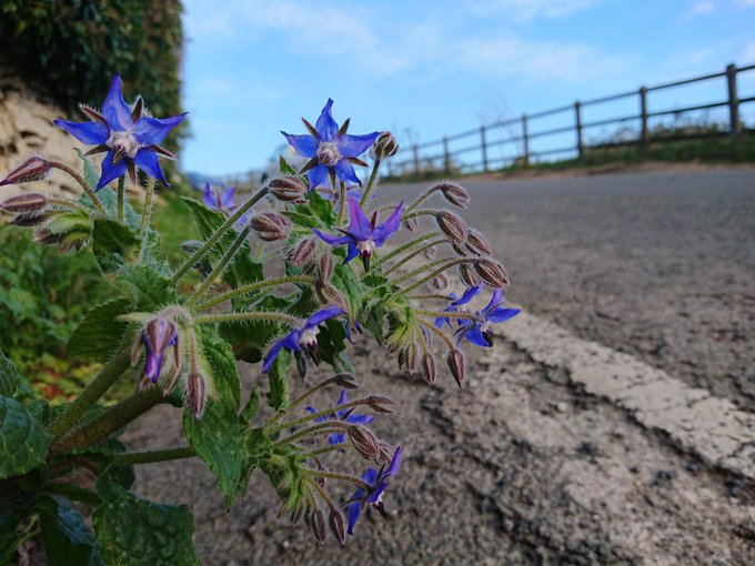 Borage looking great growing out a wall in Randwick this afternoon. Photo