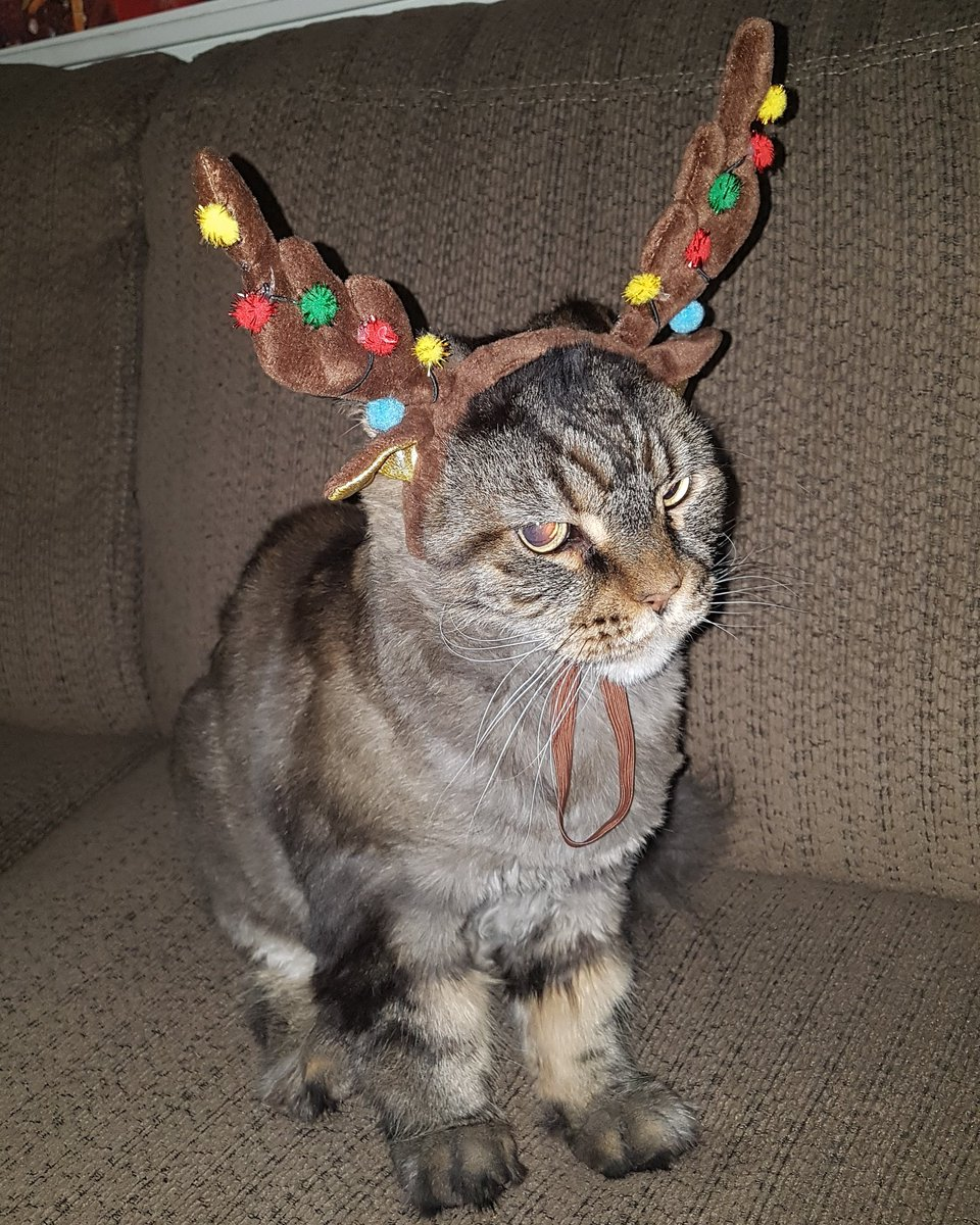 I found one of Santa&#39;s reindeer chilling out on the couch! #katsittersrus #catsofinstagram #lifewithcats #catlover #calgarycats #calgary #cat #cats #lifewithcat #acatslife #acatsworld #catsofworld #catstagram #internationalcatday #yyc #yycnow #yycliving #pet #SantaClaus #reindeer<br>http://pic.twitter.com/64E5JDn9yl