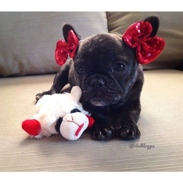 Today&#39;s Puppy is an Adorable Frenchie #Frenchbulldog <br>http://pic.twitter.com/kxMP97QdUO