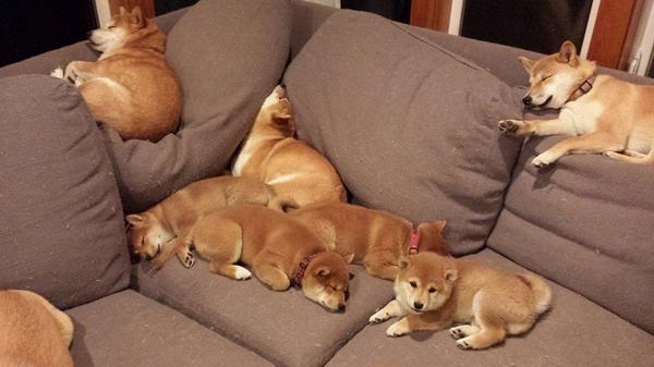 It&#39;s nap time! #puppies #puppylife #doglovers #dogfriends #shibainu #AdoptDontShop<br>http://pic.twitter.com/sh4KAkX6rR