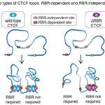 Image for the Tweet beginning: An RNA-binding region regulates CTCF