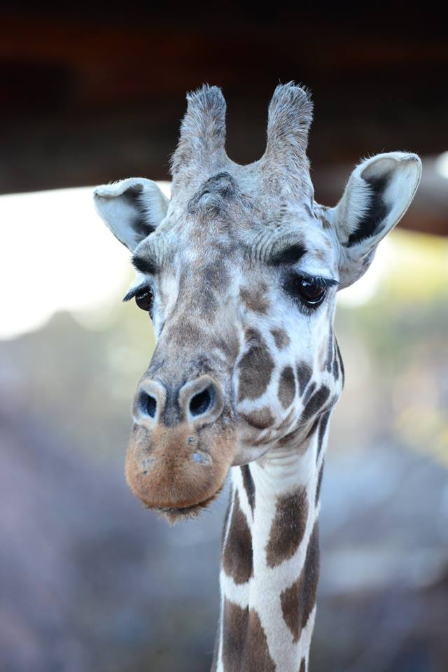 SAD NEWS: 'We are heartbroken to share that today we said goodbye to Tamu, our 32-year-old female reticulated giraffe. She was the oldest giraffe in North America at the time of her death.' - @CheyenneMtnZoo