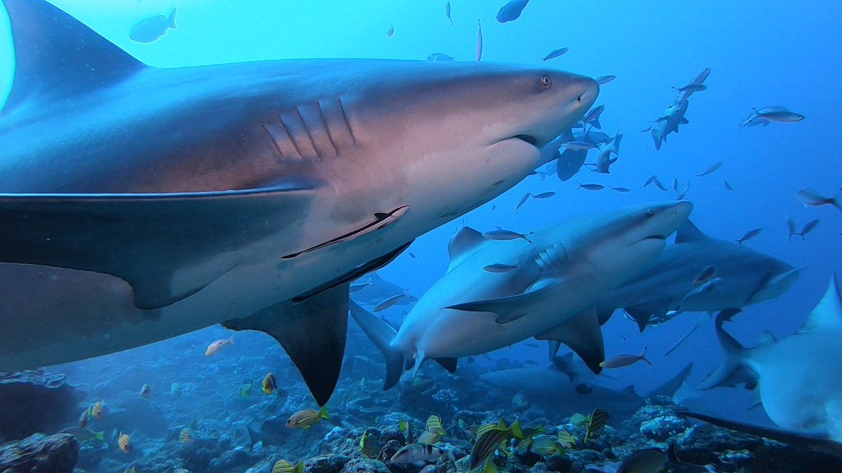 Tourists heading to Fiji can now #AdoptAShark. @UNDP_Pacific's #SaveOurOcean partnership w/ Fijian tourism operators will help with 🇫🇯 reef restoration + shark conservation: http://ow.ly/F2Us30mYQPZ #COP24