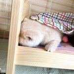 人形ベッドで寝てるモフモフ猫ちゃん。まるでぬいぐるみのようでベッドがピッタリ。