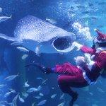 Image for the Tweet beginning: ⭐️News🐟 ジンベエザメにクリスマスプレゼント🎁 サンタさんがごはんを持って大水槽に登場します🎅 期間:12月15日(土)~25日(火) 詳しくはHPで↓↓↓  #八景島 #シーパラ  #LABO5 #ジンベエザメ