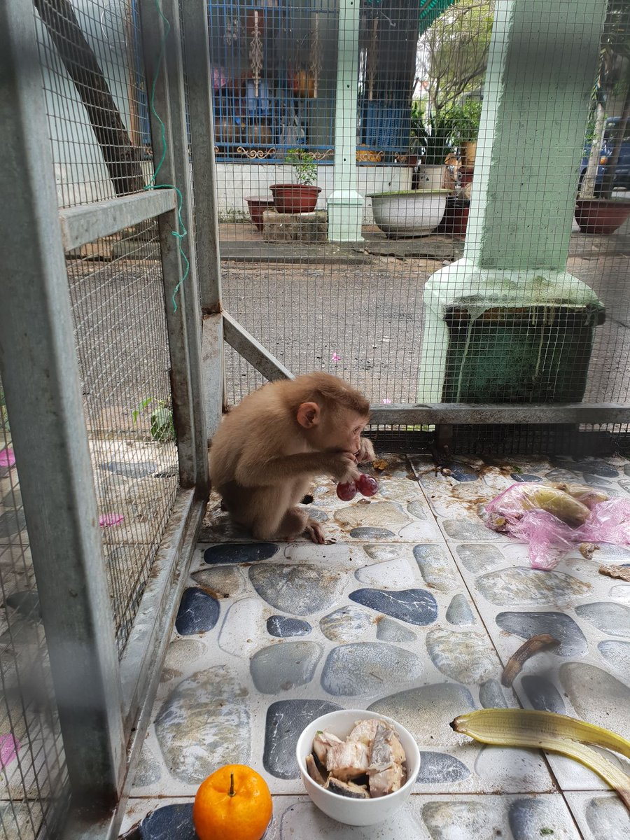 BREAKING - This macaque is now in the temporary custody of the #DaNangCity Forest Protection Dept. after a tip-off to #ENV. Winning for wildlife! #FridayMotivation #primatesarenotpets @IPSConservation @PrimateSociety @PrimConsOBU @pasaprimates @PrimateEarthpic.twitter.com/QYJ8vMhVSp