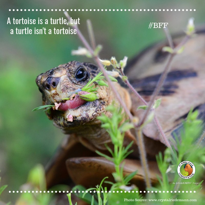 Your #BFF A tortoise: is a turtle, but a turtle isn't a tortoise, skin may look leathery  but it's actually very sensitive. A group is called a creep, they have an exoskeleton & endoskeleton & can't swim, but can hold their breath for a long time. #BiodiversityFridayFact