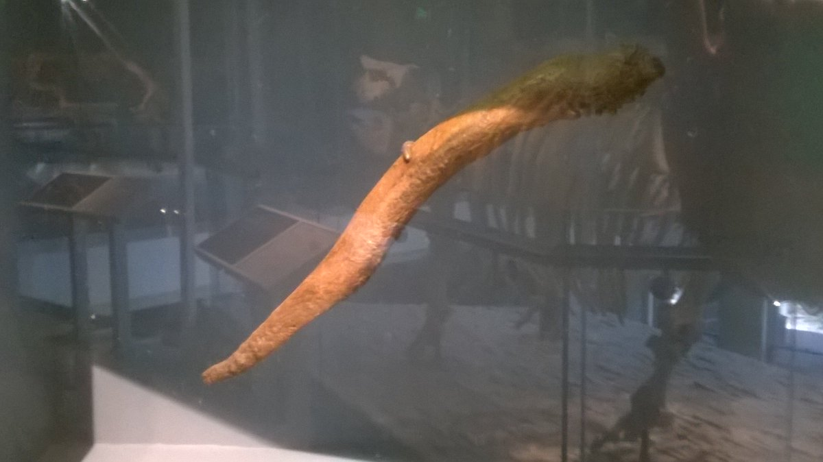 A dire wolf penis bone. Good morning!! #FossilFriday <br>http://pic.twitter.com/cyZyIyh4nC