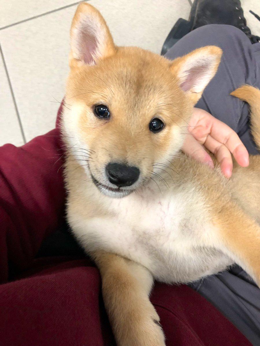 Prettiest puppy ever #shibainu <br>http://pic.twitter.com/rCM7UsglSK