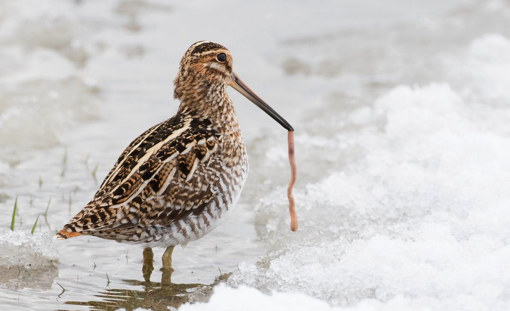 A (very happy) Wilson's Snipe in Harford Co., Maryland (3/14/2017). Photo by Mark Johnson. marylandbiodiversity.com/viewSpecies.ph…