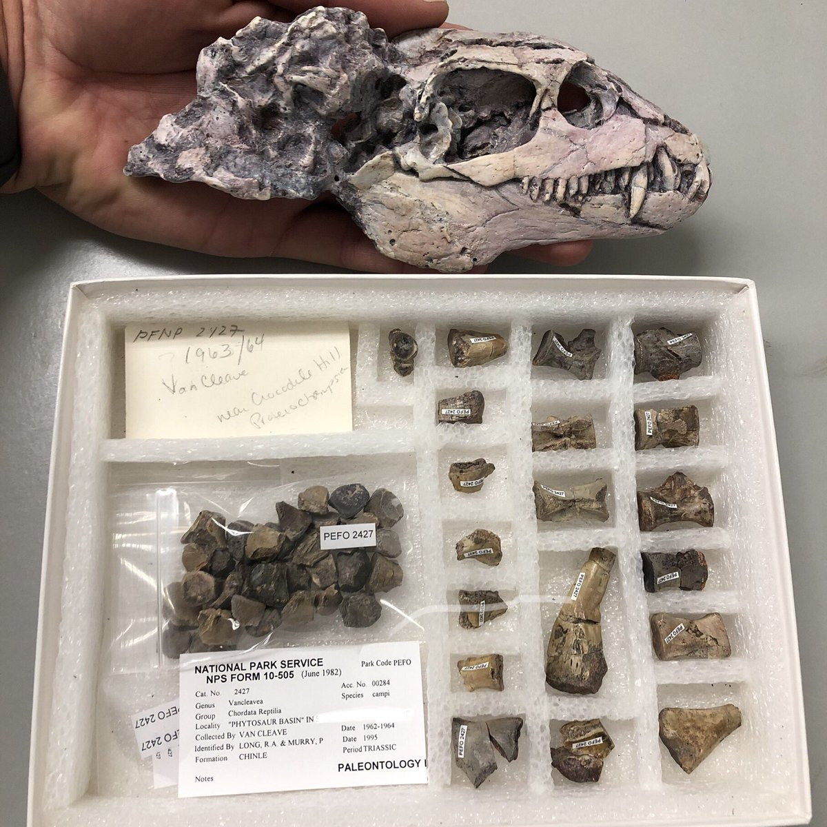 Holotype specimen of Vancleavea campi (below) from @PetrifiedNPS and a cast of a skull from an articulated referred skeleton from @GhostRanchorg, NM. This species of reptile may have lasted over 11 million years during the Triassic, which is far, far too long. #fossilfriday <br>http://pic.twitter.com/AHSdRELrki