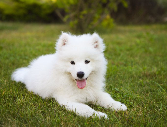 Daughter has suggested that she would be interested in a samoyed, but honestly why would anyone be interested in this sort of hideous beast