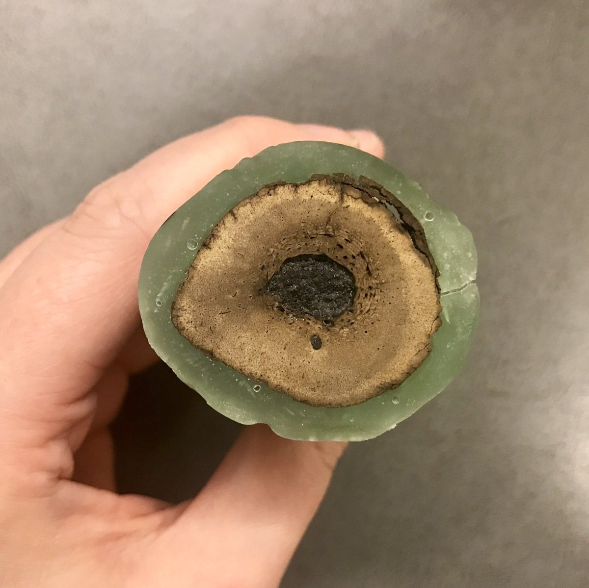Here&#39;s a Smilodon femur waiting (very patiently) for me to glue it to a plexiglass slide.   Once the glue dries, I&#39;ll cut it again and start grinding down the thin section until it&#39;s thin enough that light can pass through to illuminate the bone&#39;s microstructure! #FossilFriday <br>http://pic.twitter.com/AkMmGFy0Cc