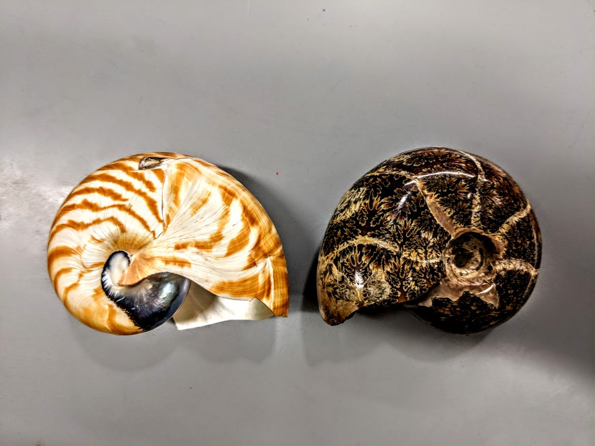 Happy #FossilFriday! Ammonites (right) may look similar to a modern  nautilus, but while they are both cephalopods, ammonites are more  closely related to octopus and squid than they are to modern  nautilus!  <br>http://pic.twitter.com/INgJiQ2Fie