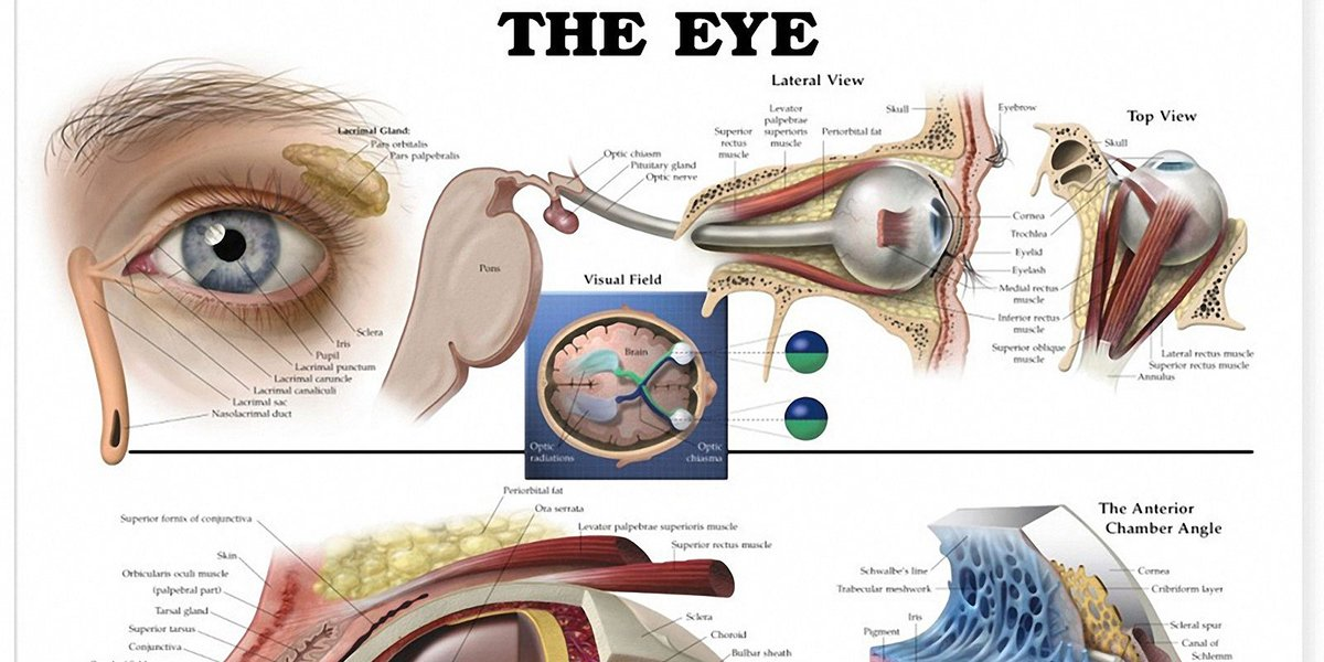 RT Eye Anatomical Chart ➡ https://t.co/tcAJ2Uqv7u https://t.co/OOlOKJBaJH #health #well