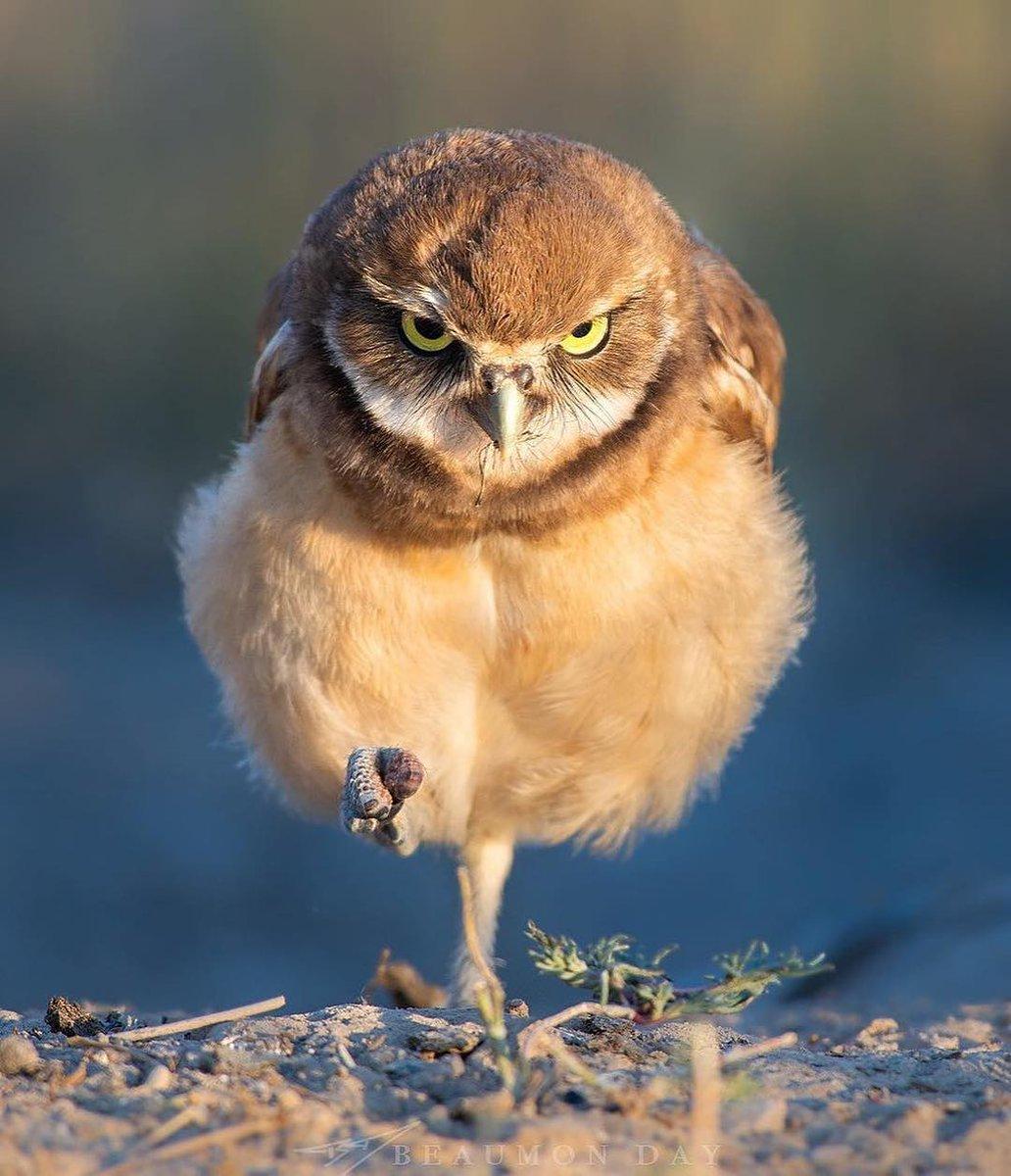 Смешная симпатичная взъерошенная сова картинка самый