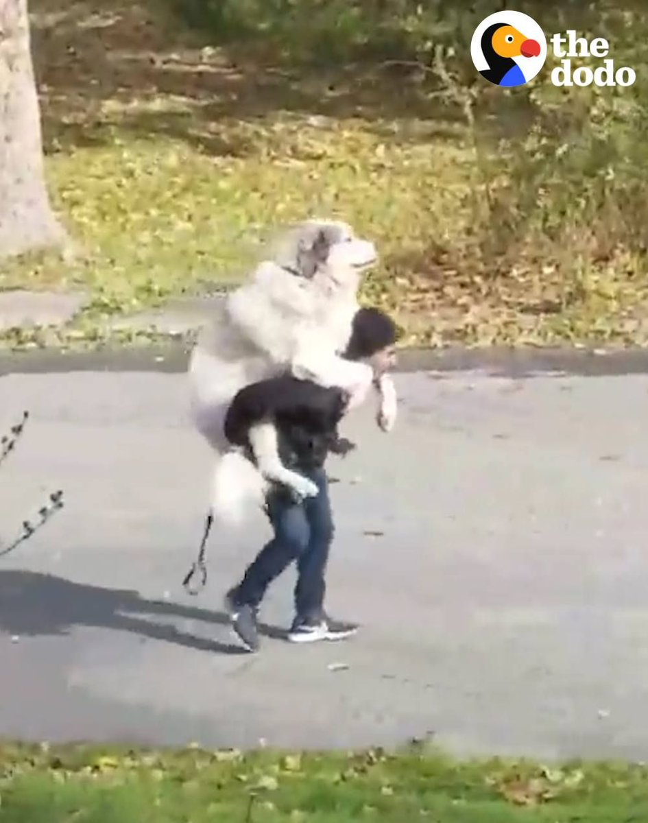 This will probably be us when 5:30 rolls around and we have a few cold ones at happy hour 😂😂😂 #fridayfeeling #tgif #FridayMotivation #weekend #fridays #dogvideos #thedodo #dogs #dogsoftwitter #funny #funnydogs #spoiled #inspiring #cute #ecofriendly  https://buff.ly/2UvZPxL