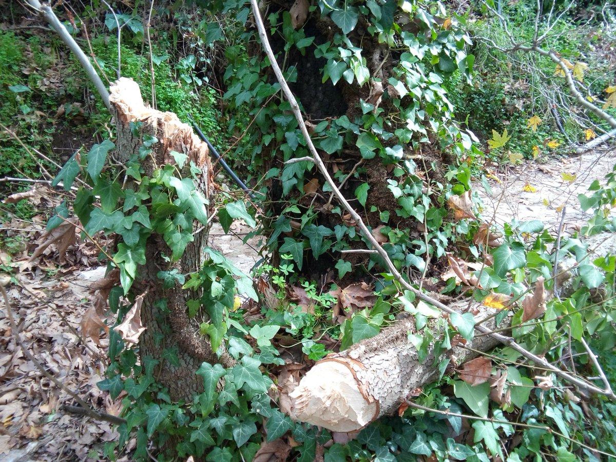 «Θύμα» της κακοκαιρίας των προηγούμενων ημερών πλάτανος στην κοιλάδα της Ψίνθου.