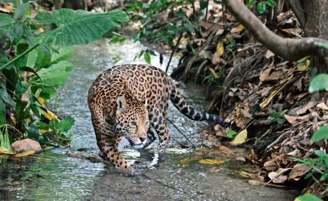 Acuíferos y jaguares en peligro por el Tren Maya https://t.co/hPDAO38tdG
