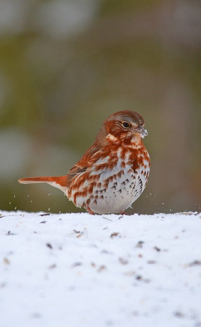 A Fox Sparrow in Harford Co., Maryland (3/2/2014). Photo by Matthew Addicks. marylandbiodiversity.com/viewSpecies.ph…