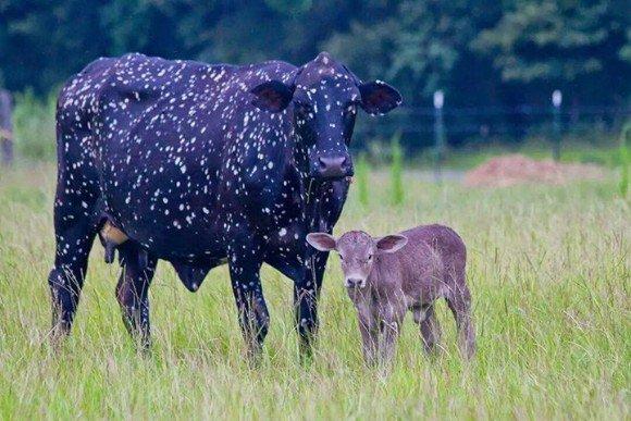 カラパイア : 体に宇宙を宿した牛。夜空に輝くたくさんの星のようにみえる柄の牛が海外で話題に https://t.co/tQ58eCCZLT
