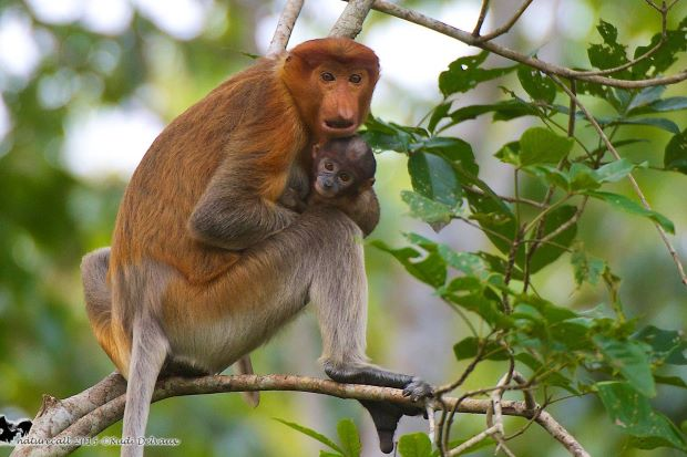 Protected riverside forests have saved Sabahs proboscis monkeys but oil palm threatens their future thestar.com.my/news/nation/20…