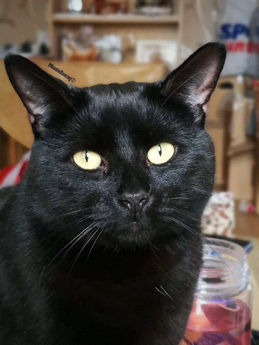 ...  cats  cat  catsoftwitter  black  blackcats  blackcat  blackcatsrule   panther  meow  love  pet  instagram  pets  catsagrampic.twitter .com 3SJ6iqwTBQ 60f2cca51