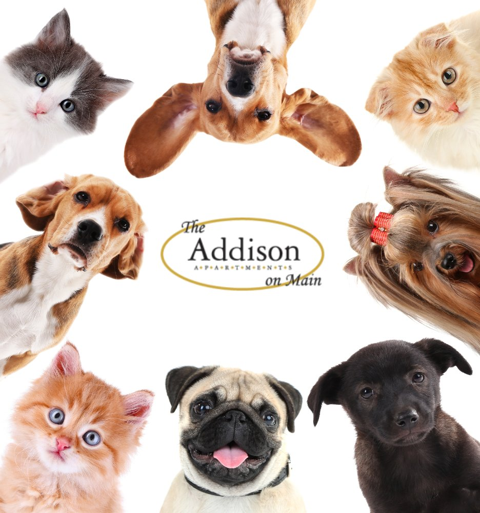 Thinking about bringing home a pet for a holiday gift this year? Good news! The Addison is very pet friendly! Stop by the leasing office if you would like to get more information on adding a pet to your home!