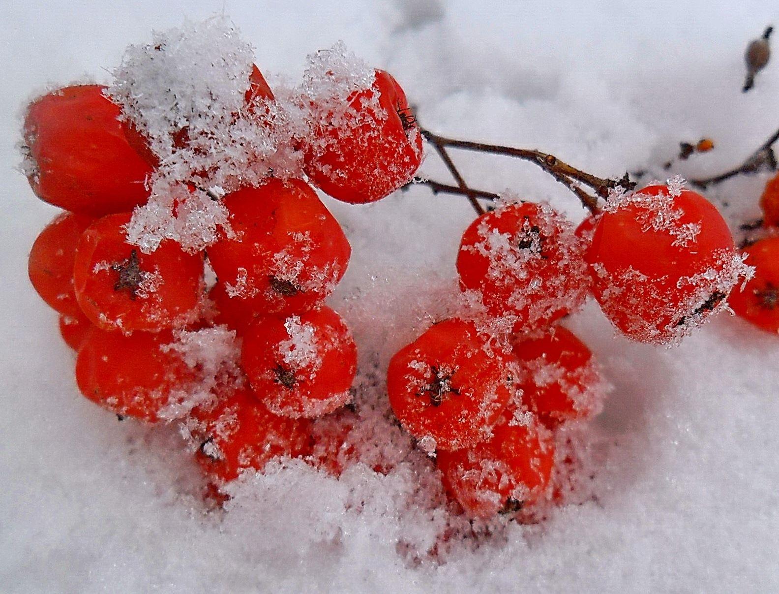 правда отметить, сердце из красной рябины на снегу фото продажу