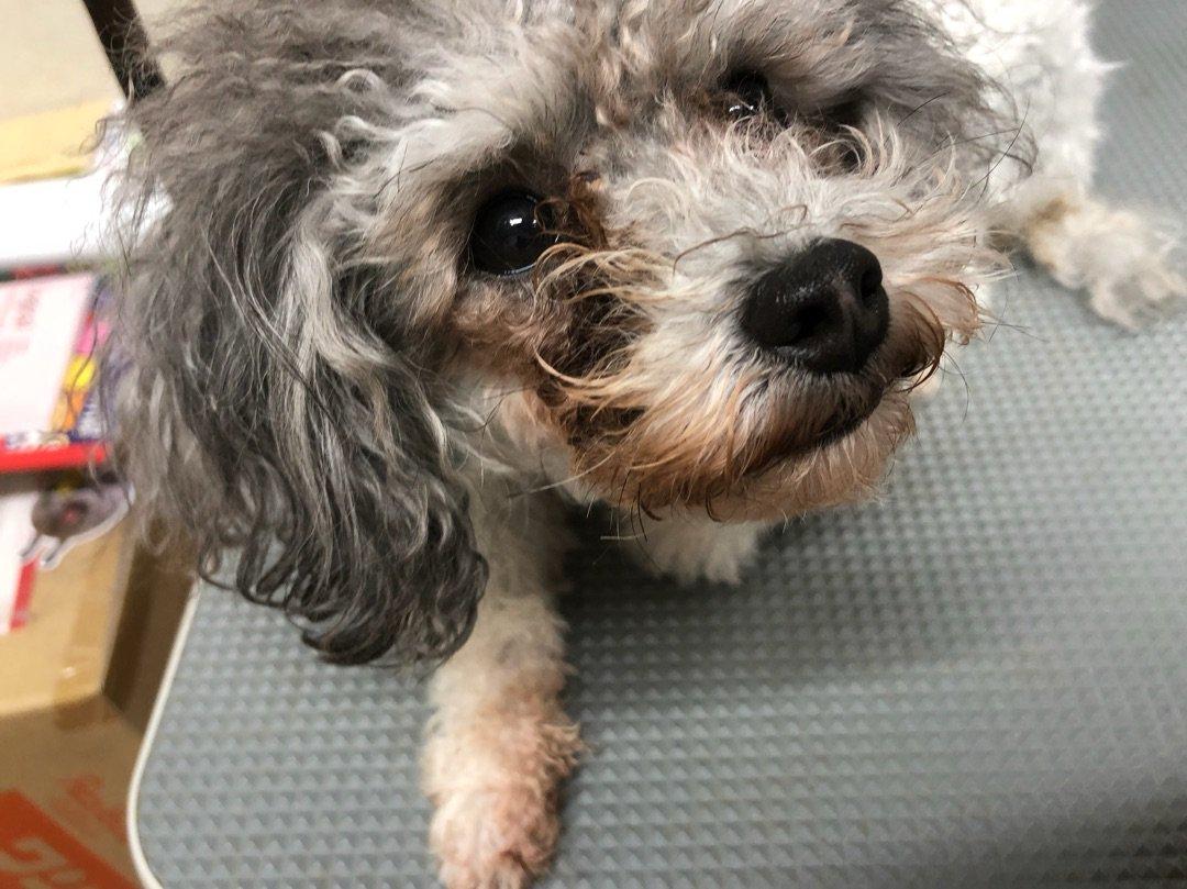 涙やけの研究 ー アメブロを更新しました #犬のいる生活 ameblo.jp/yorikokoro/ent…