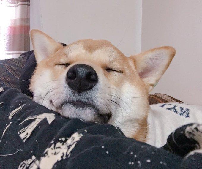りんご 郎 柴犬