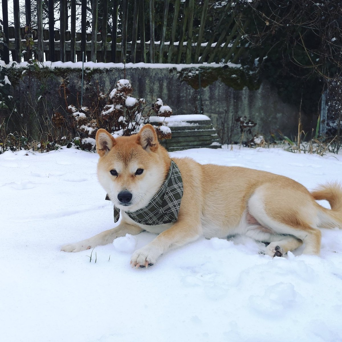 Snow in my yard #shibainu #winter #shibs<br>http://pic.twitter.com/LO0pawH0SN