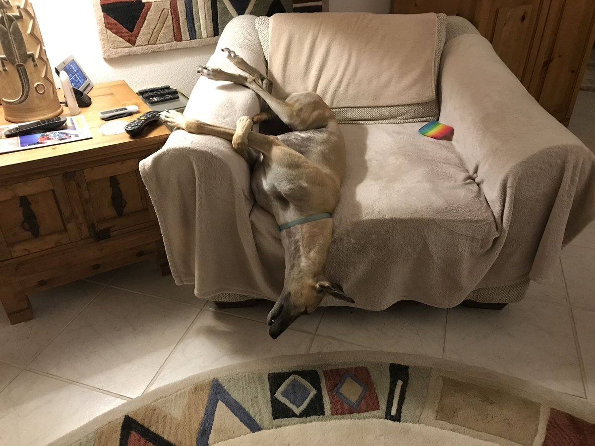 Asta is doing her best impression of a noodle and sliding right out of her chair! #greyhound #noodles