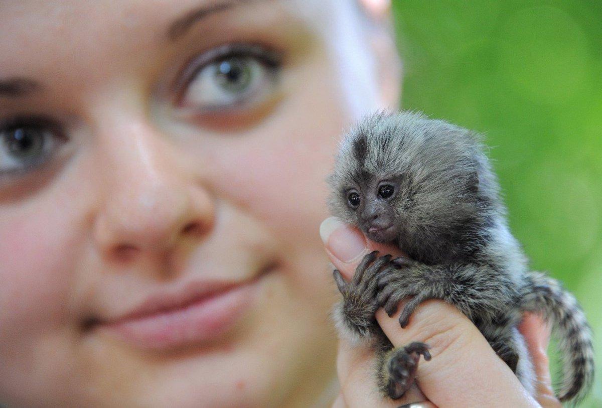 Картинки самой маленькой обезьянки в мире когда мужик