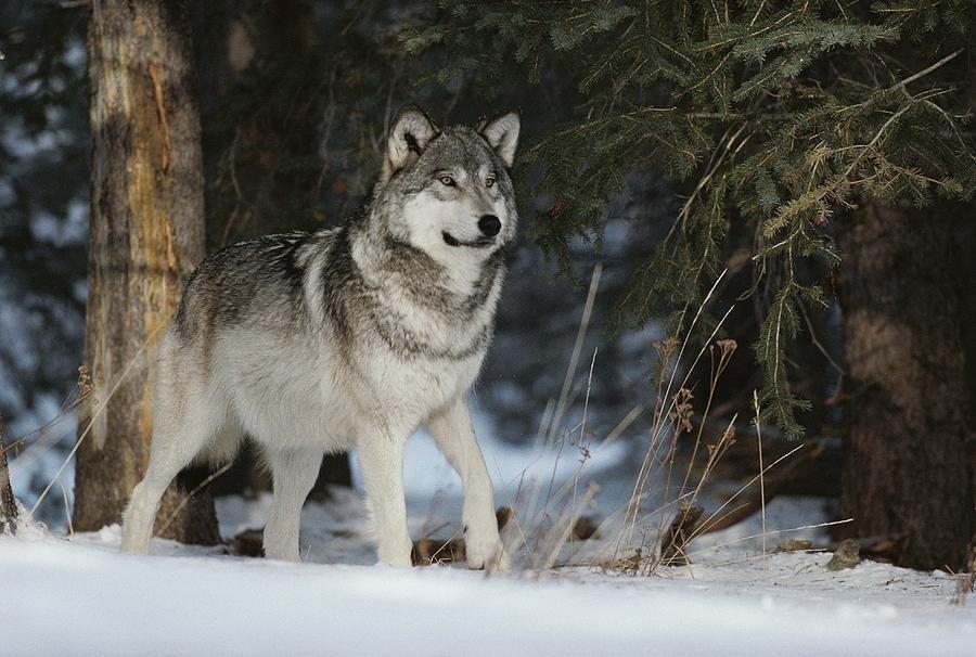 ваши фото фото волка альфа самца пациентки отмечают