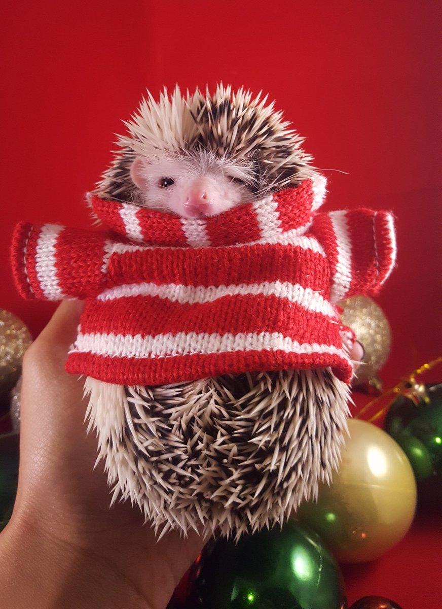 Hedgehog Christmas Jumper.Hufflehogs On Twitter All Ready For Christmas
