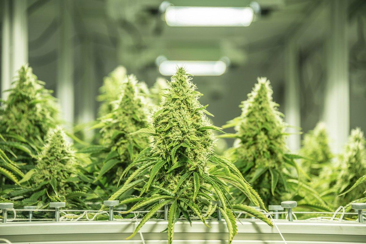 Семена марихуаны гидропоники как растет конопля фото